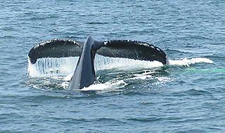 Cape Cod Whales115 copy