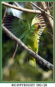 Red_lored_parrot